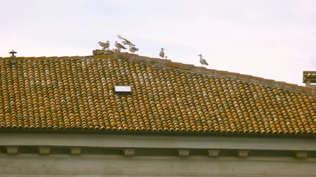 bird ecology : Gulls on the roof. Birds, building and sky. Stock Footage