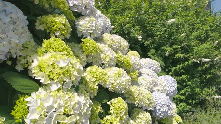 hortensia : Hydrangeas and sunlight. Flowers and green leaves. Stock Footage