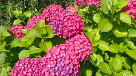 hortensia : Bright pink hydrangeas. Flowers and leaves.