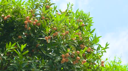 mandarynka : Tangerines on branches. Ripe fruits and green leaves.