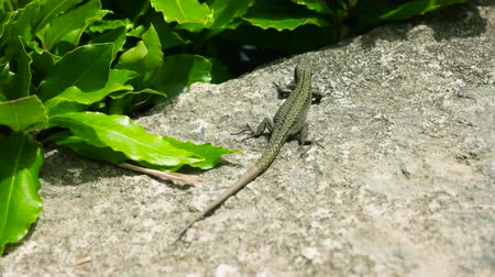 disguise : Small lizard close up. Lizard, green plant and stone. Types of reptiles. Stock Footage