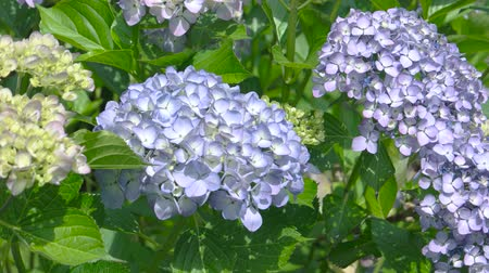 hortensia : Hydrangeas close up. Beautiful light purple flowers.