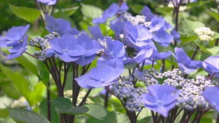 hortensia : Light purple flowers close up. Hydrangea buds and sunlight. Biology of plants.