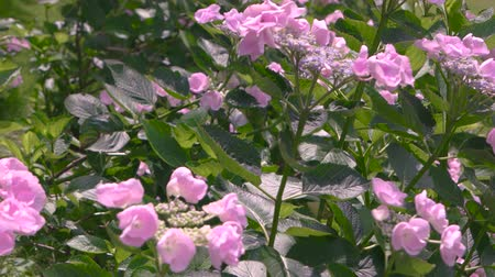 hortênsia : Pink hydrangeas and sunlight. Flowers and buds.