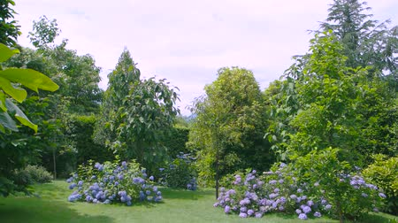 hortênsia : Park in summer, hydrangeas. Green trees, lawn and flowers.