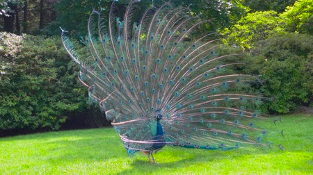 bird ecology : Peafowl showing its tail. Colorful bird outdoors. Peacocks and natural selection.