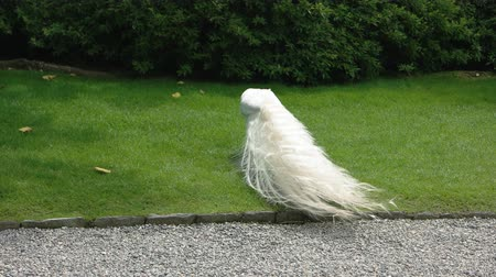 kuşçuluk : White peafowl outdoor. Peacock in the park, summer.