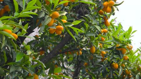 mandarynka : Tangerines on tree branches. Ripe citrus fruits. Wideo