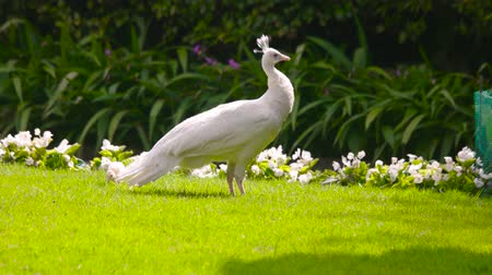 kuşçuluk : White peafowl and peachick outdoor. Birds on the lawn, summer.