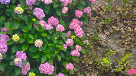 ortanca : Pink and purple hydrangeas. Flowers on the wall. How plants help the environment.