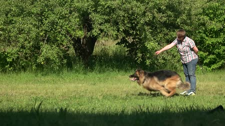 itaat : Dog is running on command. Hairy shepherd dog is running on command of its owner. Stok Video