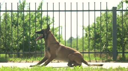 educado : Dog is executing commands. Shepherd malinois dog is executing commands in front of a fence.