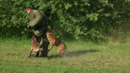 hound : Two dogs are attacking a man. Two dogs are attacking and biting figurant. Stock Footage