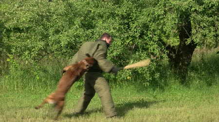 művelt : Man is swinging a bat to a dog and failing. Figurant is swinging a cudgel to a dog but the dog is counter-attacking and biting him. Stock mozgókép
