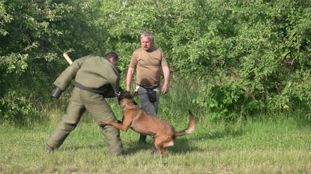 művelt : Dog defence cynology exercise. Dog is defencing and counter-attacking a man with a bat. Stock mozgókép