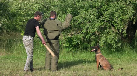 perseguição : Detention of a criminal cynology exercise. Trained dog is watching at a detained violator and must not let him escape, cynology training. Violator is putting his hands up.