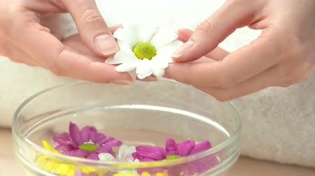 professional wellness : White little chrysanthemum in female hands. Young woman well-groomed hands holding gentle chrysanthemum flower above aroma bath. Spa procedure for hands in spa salon.