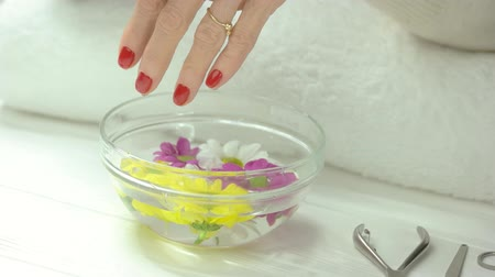 chrysanthemum : Manicured hands receiving spa treatment. Woman hands with red manicure in spa salon putting flower in glass bowl with water and chrysanthemums. Hands and nails care.