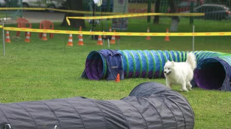 samoyed : Samoyed dog is coming out of a tunnel and keep going. Samoyed dog is training with dog agility equipment.