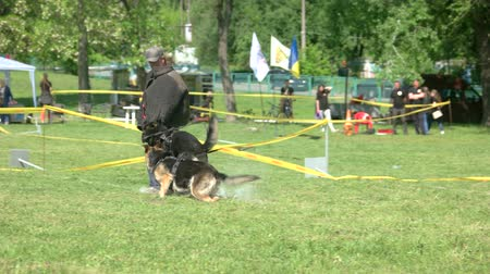 образованный : 27.05.2017 - Kyiv,Ukraine. Trainer is releasing hounds to catch a man. Trainer is releasing dogs to bite a man, but then call them back.