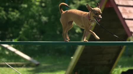 itaat : Dog is timidly walking on a dog walk plank. Leashed chihuahua is timidly walking on a dog walk plank. Stok Video
