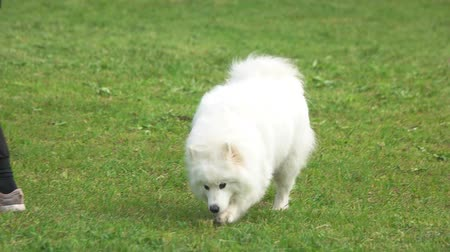 samoyed : Samoyed dog is walking in slow motion. Samoyed dog is waking on grass.