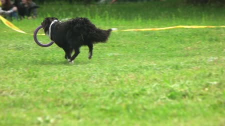 lehúzó : Border collie dog is running with a puller toy. Border collie dog, backside view, slow motion. Stock mozgókép
