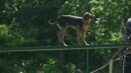 itaat : Chihuahua is walking on a plank. Careful chihuahua. Stok Video