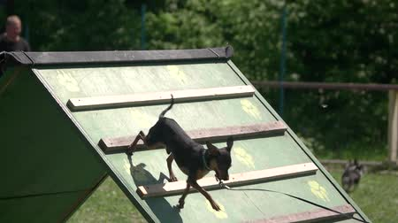 легко : Little dog is moving down a plank. Chihuahua dog is moving down a plank. Стоковые видеозаписи