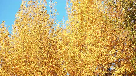 faia : Yellow tree leaves against blue sky background. Wind blow tree motion.