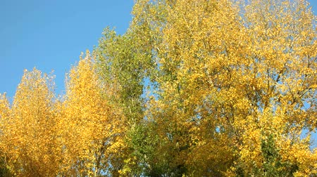 faia : Autumn trees motion background. Clear blue sky.
