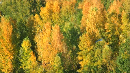 faia : Trees in the forest. Green and yellow leaves on trees.