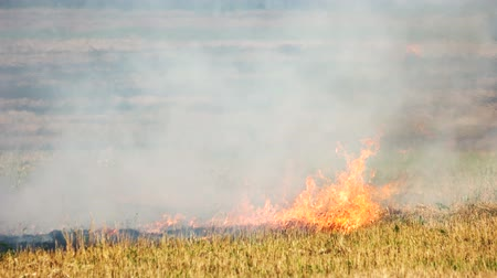 combust : Grass burning in a wild bushfire outdoors. Fire in the field, burning dry grass motion.