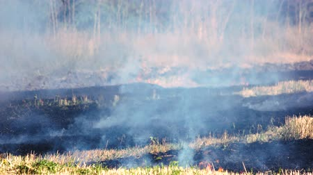 anız : Dry grass burning in forest fire. Black field, burnt out grass. Stok Video