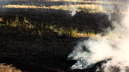 inflammable : Smoldering grass ashes after fire. Big white smoke motion. Stock Footage