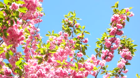 flowery : Pink sakura flowers over blue sky. Blossom of sakura close up. Flowering and delicacy.