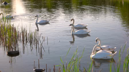 cisne : Group of white swans floating in pond. Six swans feeding from pond. Beauty of wild life.