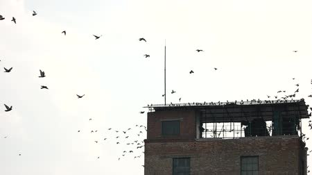urlop : Flock of pigeon on the roof. Sitting on the roof, slow motion, white background.
