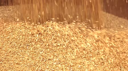 reaping : Wheat falling on heap. Yellow harvest flowing down, close up.