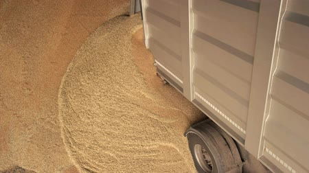 reaper : Pouring out grain from the truck. Heap of cereals, flowing in a pile, close up. Stock Footage