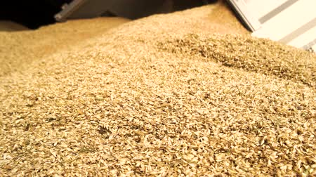 hybrids : Unloading wheat, close up. Close up heap of yellow cereals.