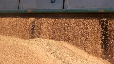 reaping : Grain truck unloading. Close up falling cereal grain. Stock Footage