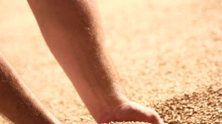 感謝の気持ち : Human hands pouring grain corn after harvest. Big heap of wheat, close up. 動画素材