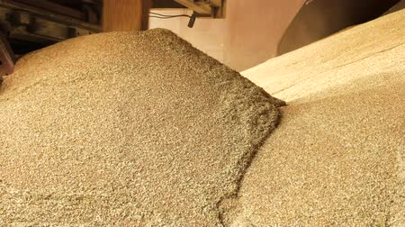 reaping : Dumping grain in storage facility. Filling big pile.