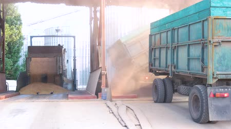 hybrids : Unloading grain from truck trailers. Pouring harvest to grain storage. Concept of argrarian work. Stock Footage