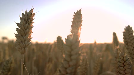 saman : Close up wheat on the field. Sunny sky background.
