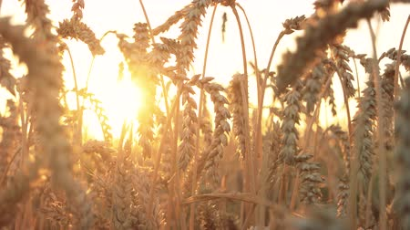 saman : Field of ripening wheat ears. Rye spikes, evening sunset background.