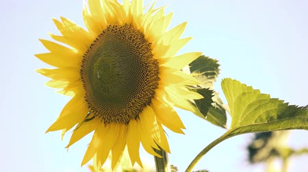 подсолнухи : Beautiful yellow sunflower, close up. Blue sky background.