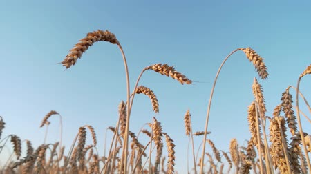 saman : Wheat crop, up view. Clear blue sky background.