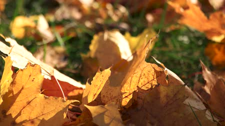 Close up dried autumn leaves on the meadow. Sunlight on autumn leaves in park. Beauty of nature.